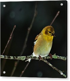 Acrylic Print featuring the photograph Yellow Finery by John Harding