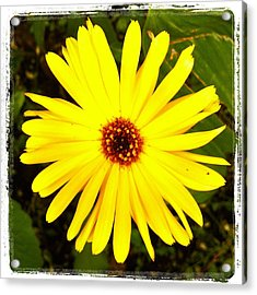 Yellow Flower 12 Acrylic Print