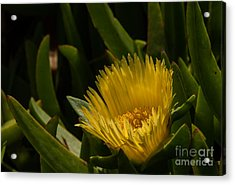 Yellow Flower  1.7098 Acrylic Print by Stephen Parker