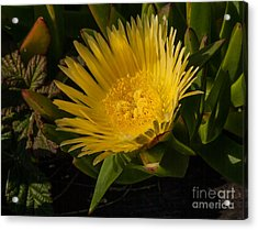 Yellow Flower 1.7103 Acrylic Print by Stephen Parker