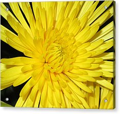 Yellow Flower Closeup Acrylic Print by Barbara Yearty