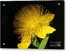 Yellow Flower Acrylic Print by Nur Roy