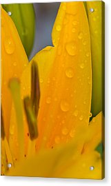 Yellow Flower With Water Drops Acrylic Print by Bob Noble Photography