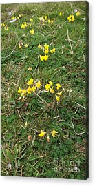 Yellow Flowers Acrylic Print by John Williams