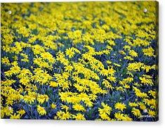 Yellow Flowers Acrylic Print by Paulo Zerbato