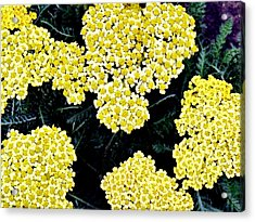 Yellow Flowers Acrylic Print by Sanford
