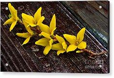 Yellow Forsythia Acrylic Print