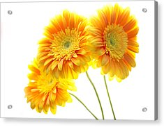 Yellow Gerber Trio Acrylic Print by Rebecca Cozart
