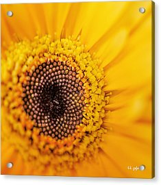 Acrylic Print featuring the photograph Yellow Gerbera Squared by TK Goforth