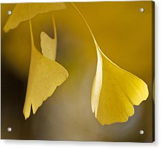 Yellow Ginkgo Acrylic Print by Sally Ross