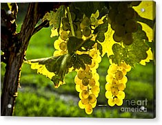 Yellow Grapes In Sunshine Acrylic Print by Elena Elisseeva
