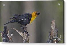 Yellow Headed Bird Acrylic Print