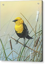 Yellow-headed Black Bird Acrylic Print