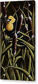 Yellow Headed Blackbird And Cattails Acrylic Print by Rick Bainbridge