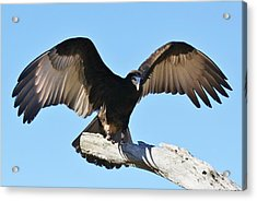 Yellow Headed Vulture Acrylic Print by Paulette Thomas