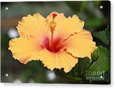 Yellow Hibiscus All Profits Go To Hospice Of The Calumet Area Acrylic Print
