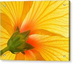 Yellow Hibiscus Backlit Macro Acrylic Print