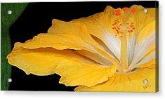 Yellow Hibiscus. Detail Acrylic Print by Ben and Raisa Gertsberg
