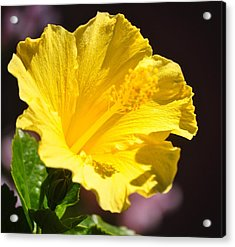 Yellow Hibiscus Open To The Sun Acrylic Print by Jay Milo