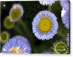 Yellow In The Middle Acrylic Print by Artist and Photographer Laura Wrede