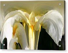Yellow Iris 102 Acrylic Print