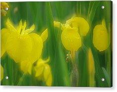 Yellow Iris Double Acrylic Print