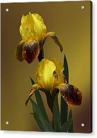 Yellow Iris Acrylic Print by Judy  Johnson