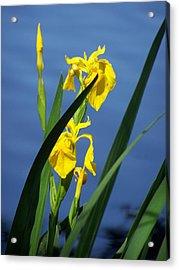 Yellow Irises Acrylic Print by Noreen HaCohen
