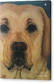 Yellow Lab Acrylic Print