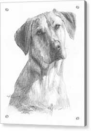 Yellow Lab Dog Pencil Portrait Acrylic Print by Mike Theuer