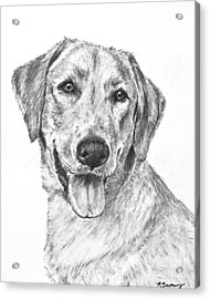 Yellow Lab Head And Shoulders Acrylic Print