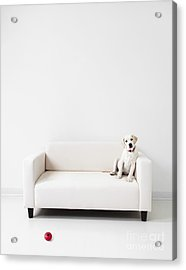 Yellow Lab In A White Room Acrylic Print by Diane Diederich