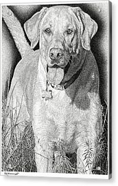 Yellow Lab In The Field Acrylic Print by Rob Christensen