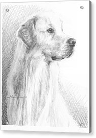 Yellow Labrador Show Dog Pencil Portrait Acrylic Print by Mike Theuer