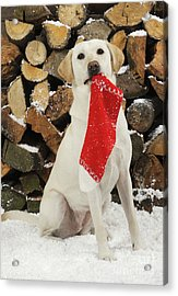 Yellow Labrador With Stocking Acrylic Print
