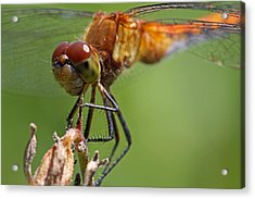 Yellow-legged Meadowhawk Dragonfly Acrylic Print by Juergen Roth