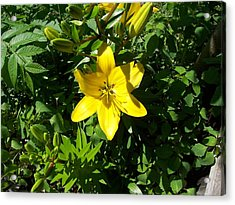 Yellow Lilly Acrylic Print