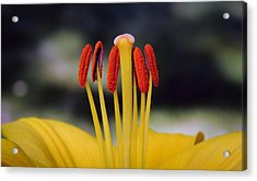 Acrylic Print featuring the photograph Yellow Lily by Glenn DiPaola