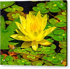 Yellow Lily Acrylic Print