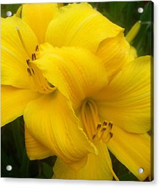 Yellow Lily Acrylic Print by Saribelle Rodriguez