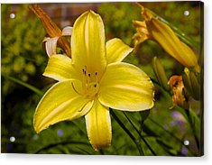 Yellow Lily Acrylic Print by Terry Horstman
