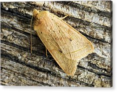 Yellow Line Quaker Moth Acrylic Print by David Aubrey
