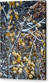 Yellow Maple And Snow Acrylic Print