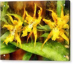 Yellow Miltassia Orchids Acrylic Print by Susan Savad