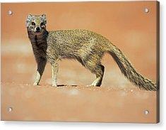 Yellow Mongoose In Kalahari Desert Acrylic Print