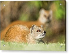 Yellow Mongoose Acrylic Print by Peter Chadwick/science Photo Library