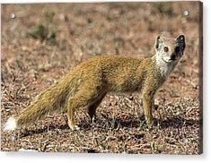 Yellow Mongoose Acrylic Print