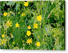 Acrylic Print featuring the photograph Yellow Monkey Flowers by Gary Brandes