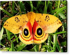 Yellow Moth Acrylic Print