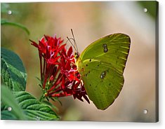 Acrylic Print featuring the photograph Yellow Moth by Kelly Nowak